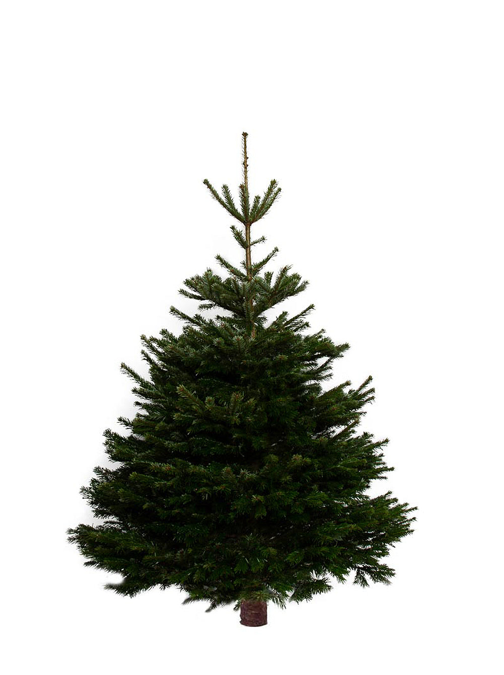 7ft Nordmann Fir Christmas Tree from Pines and Needles