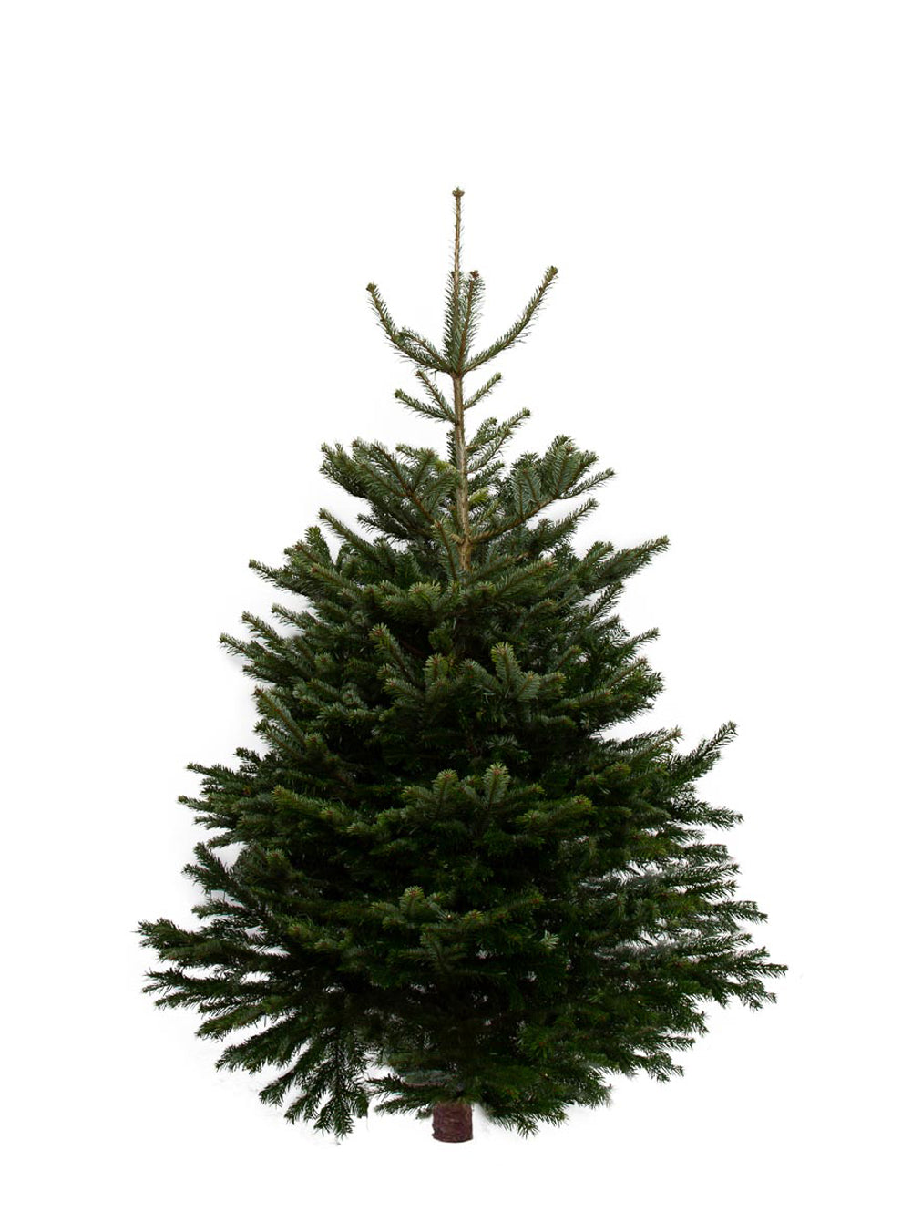 8ft Nordmann Fir Christmas Tree from Pines and Needles