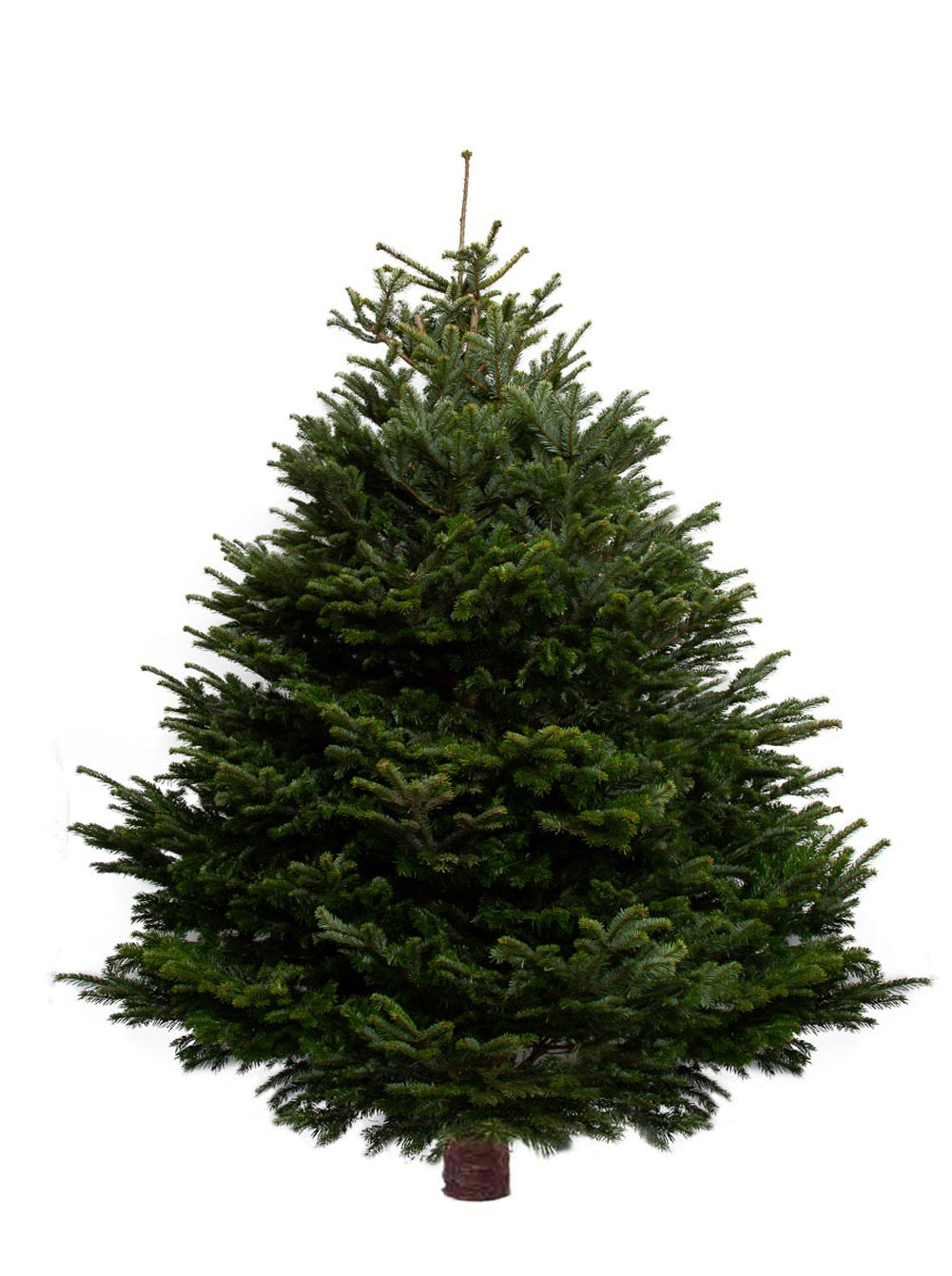 9ft Nordmann Fir Christmas Tree from Pines and Needles