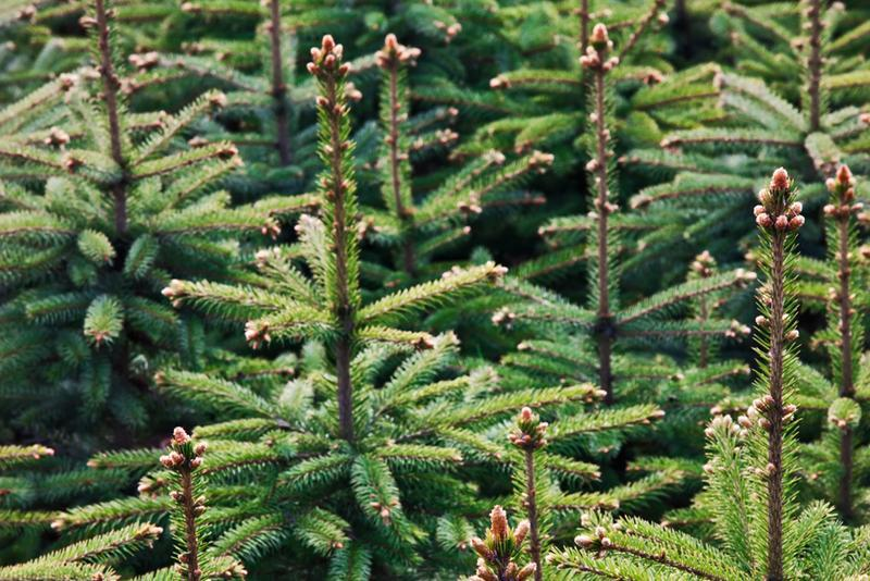 Nordmann Fir Christmas Trees from Pines and Needles