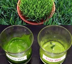 true vs tray wheatgrass