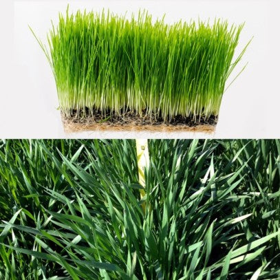 The bottom picture shows the way Schnabel grew his wheatgrass compared to the top picture of growing it indoors.