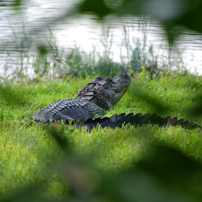 Kong, the American Alligator, Living in my Neighborhood