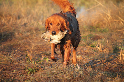 Dog retrieving teal