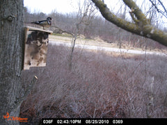Wood Duck on Box