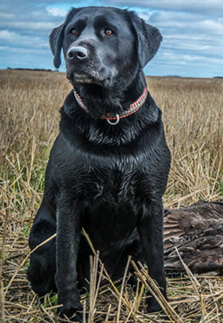 Duck Dog - Cabela