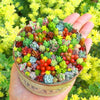 200pcs Rare, Beautiful, Easy To Grow Mixed Succulents [200pcs]