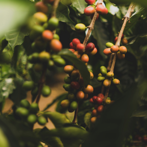 red, green, and orange coffee cherries on stem