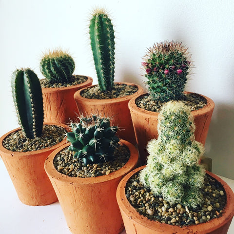 Potted Cactus Subscription
