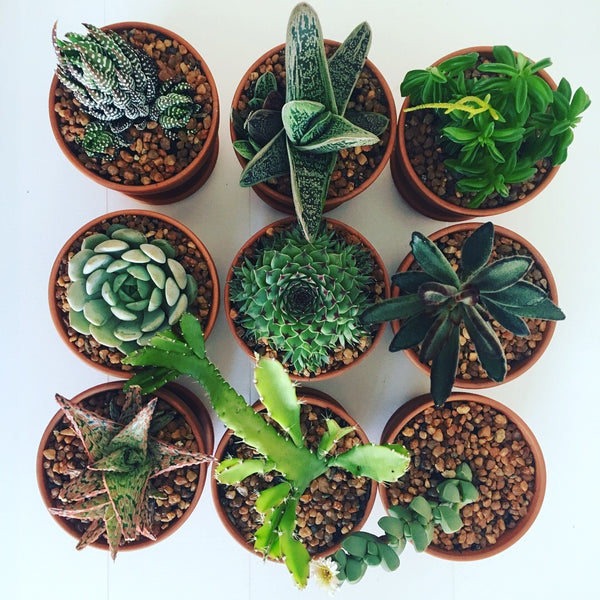 Potted Succulent Subscription