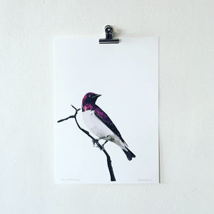 Plum-Coloured Starling Print