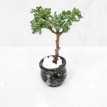 Mini Bonsai Juniper in Black Marble