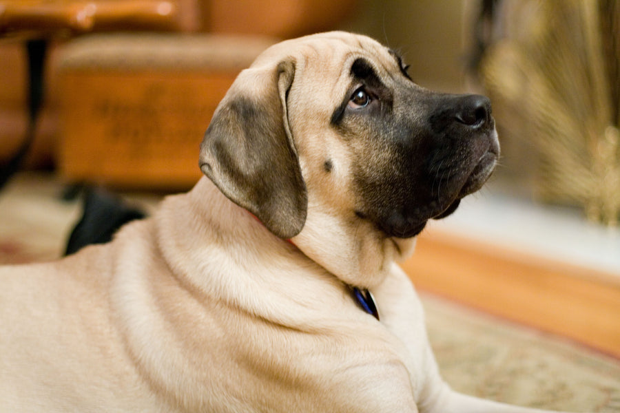 Why Do Big Dogs Suffer From Joint Pain - And What Can Be Done?
