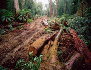 Old-growth logging road, Florentine Valley