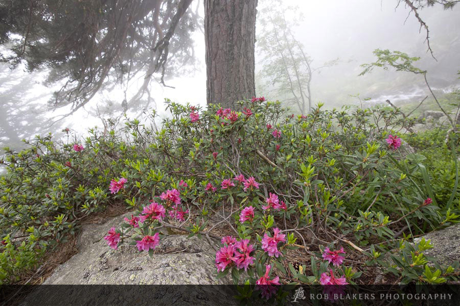 EU7 :: Scots pine and wild rhododendron, Parc National des Pyrenees