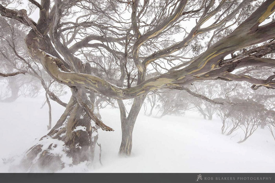 NSW49 :: Snowgums in blizzard, Kosciszko NP, NSW
