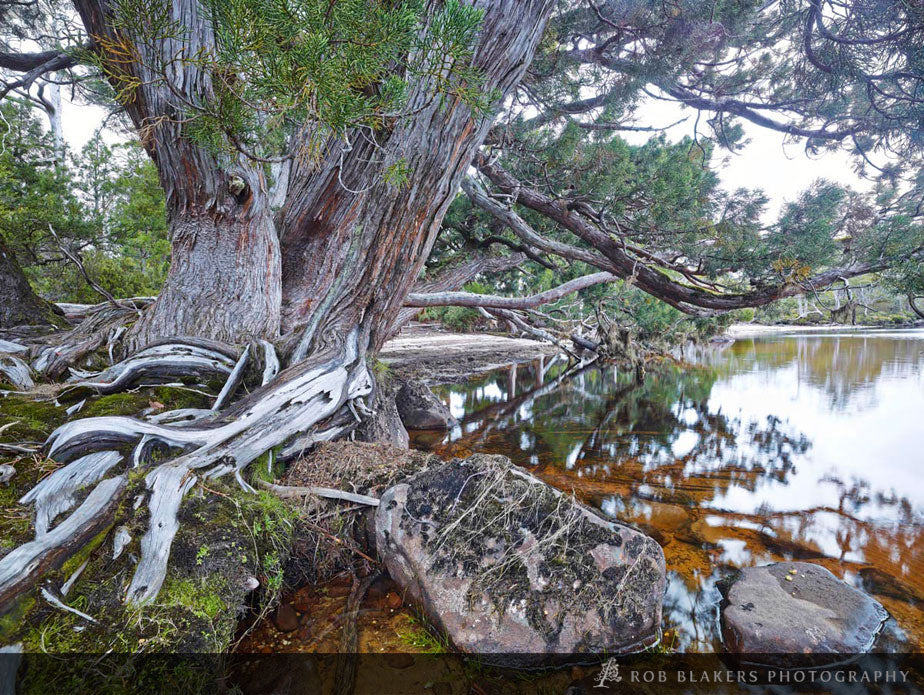 TF146 :: Pencil pines, Cradle Mtn-Lake St Clair NP