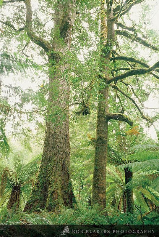 TF49 :: Rainforest, Tarkine