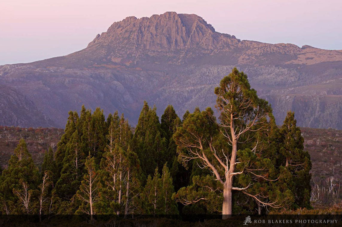 TM105 :: Pencil pines near Cradle Mountain 3