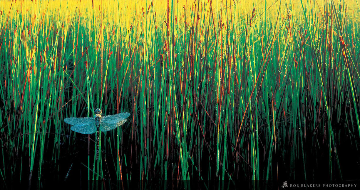 TO47 :: Dragonfly in reeds, Freycinet NP