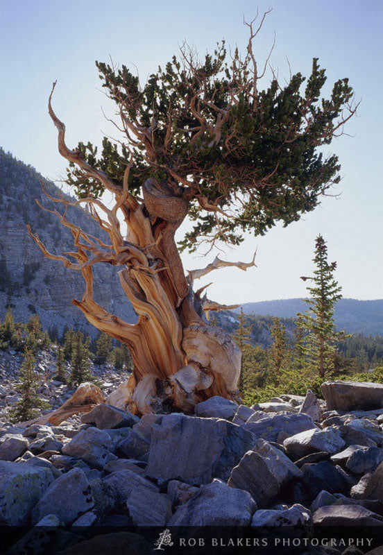 UW25 :: Bristlecone pine, Great Basin NP
