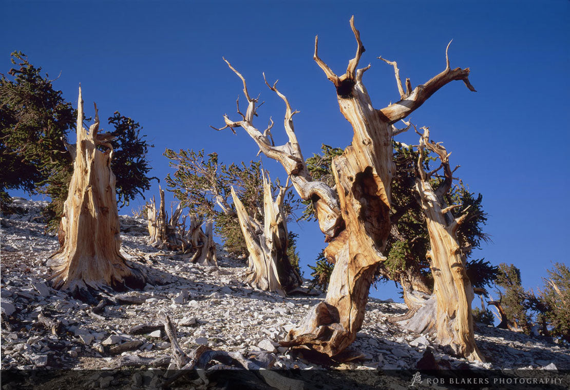 UW5 :: Bristlecone pine, White Mountains, California
