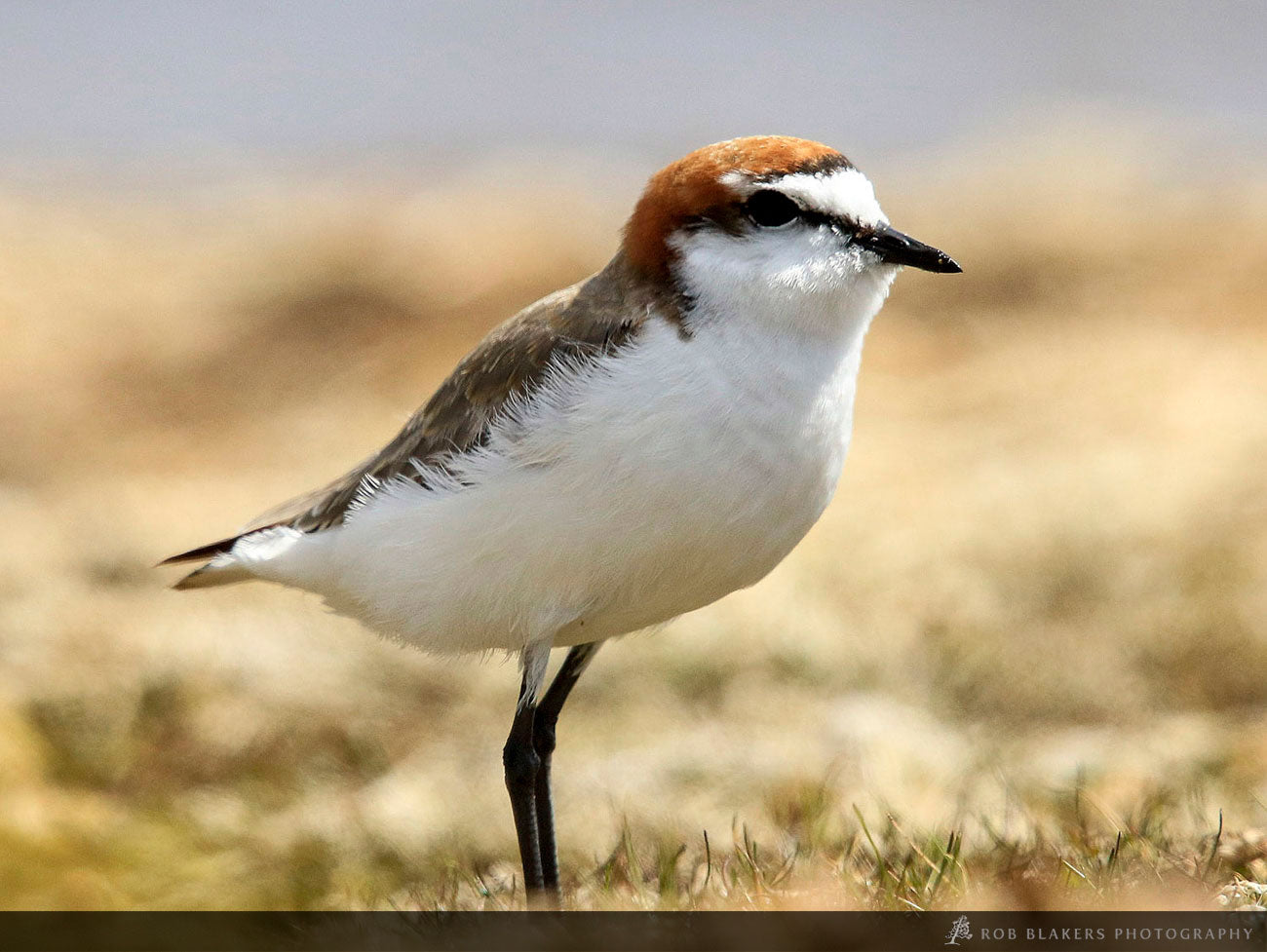 WI21 :: Red-capped plover