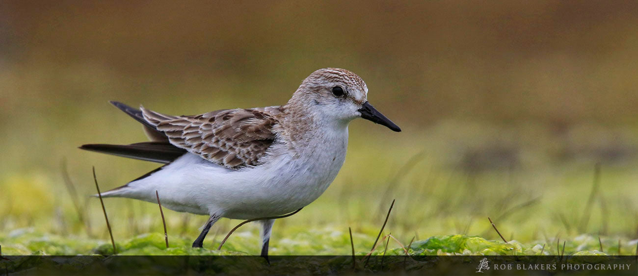 WI22 :: Red-necked stint 1