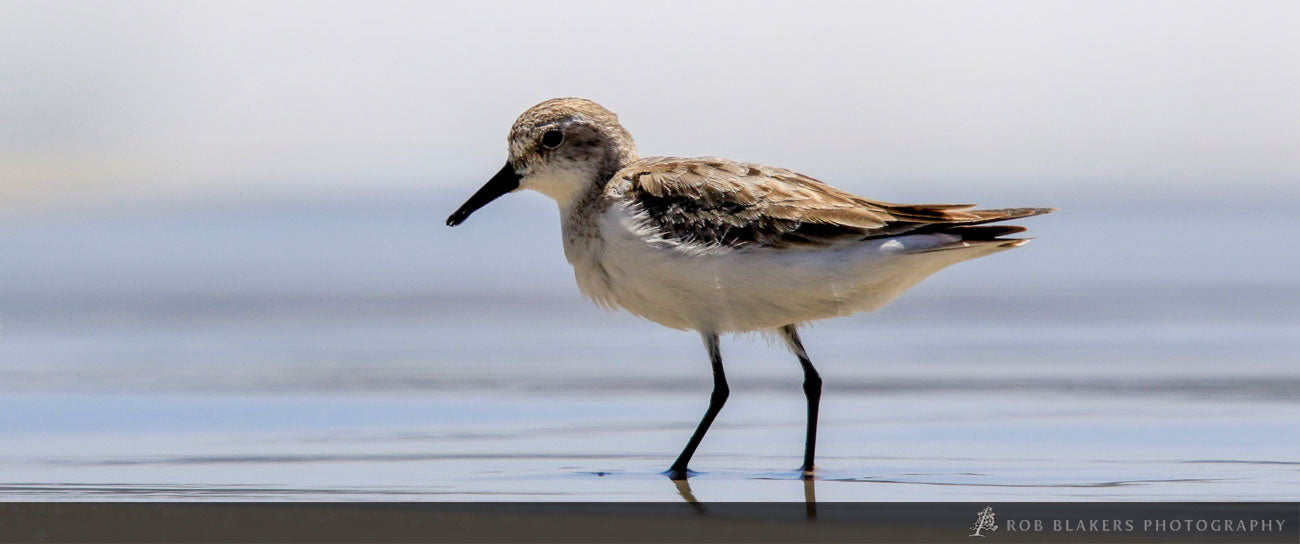 WI23 :: Red-necked stint 2