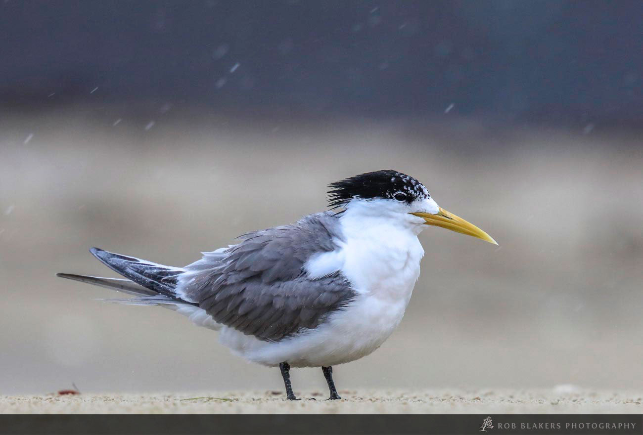 WI32 :: Crested Tern