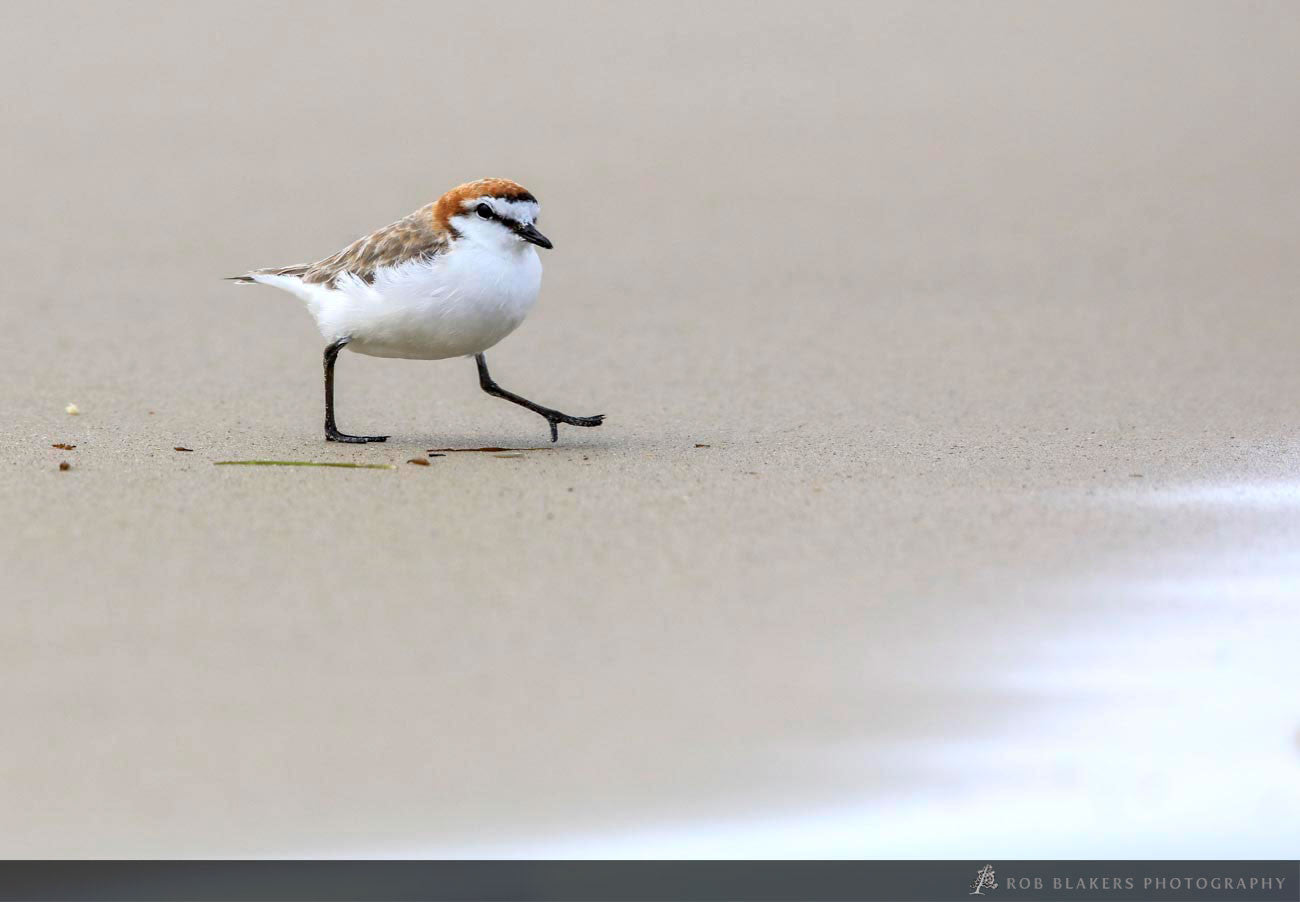 WI42:: Red-capped Plover 2