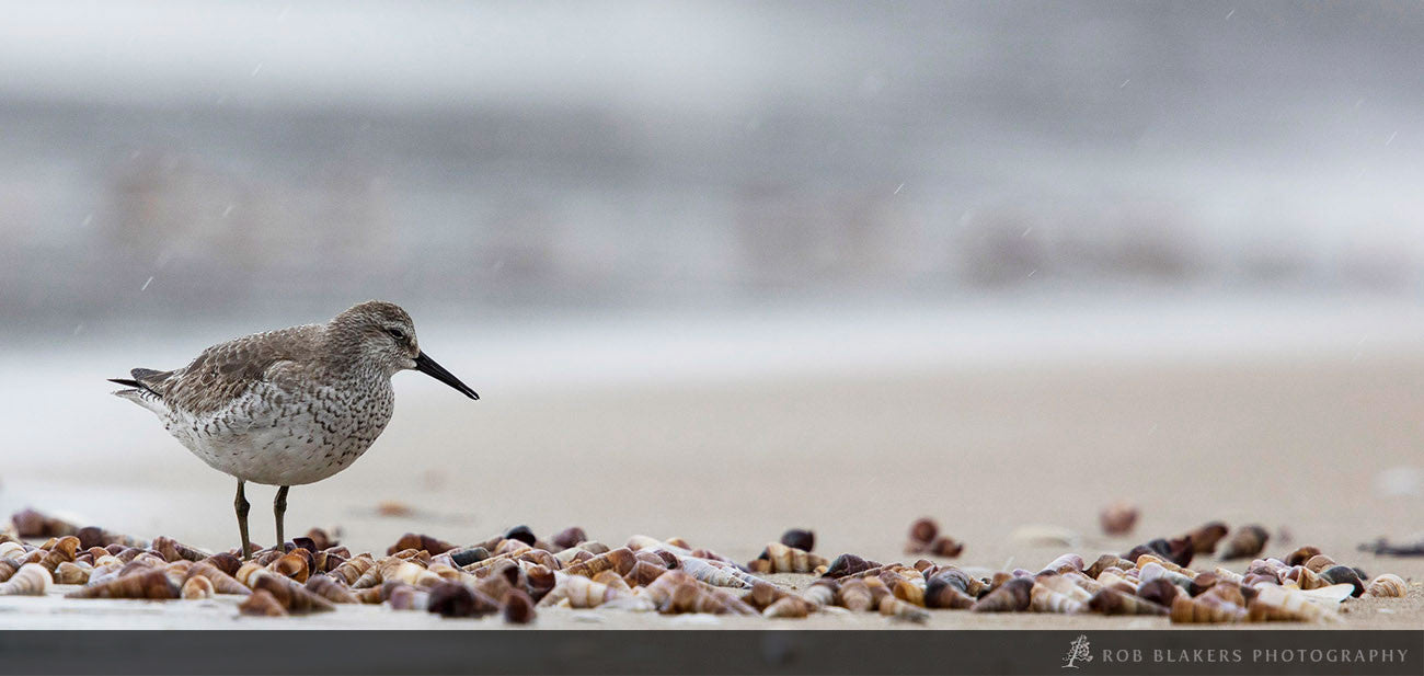 WI43:: Sharp-tailed Sandpiper 2
