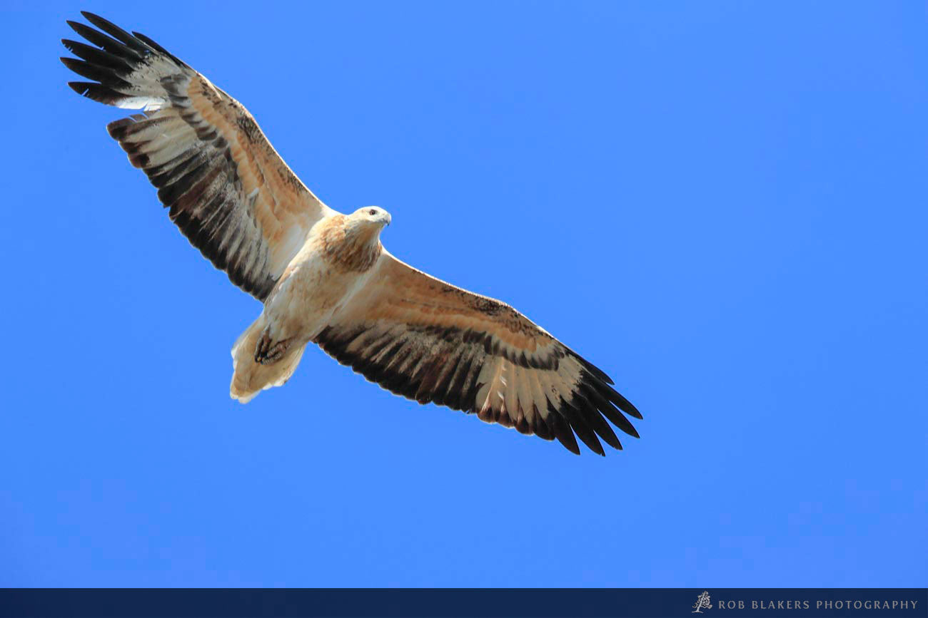 WI48:: White-bellied Sea eagle