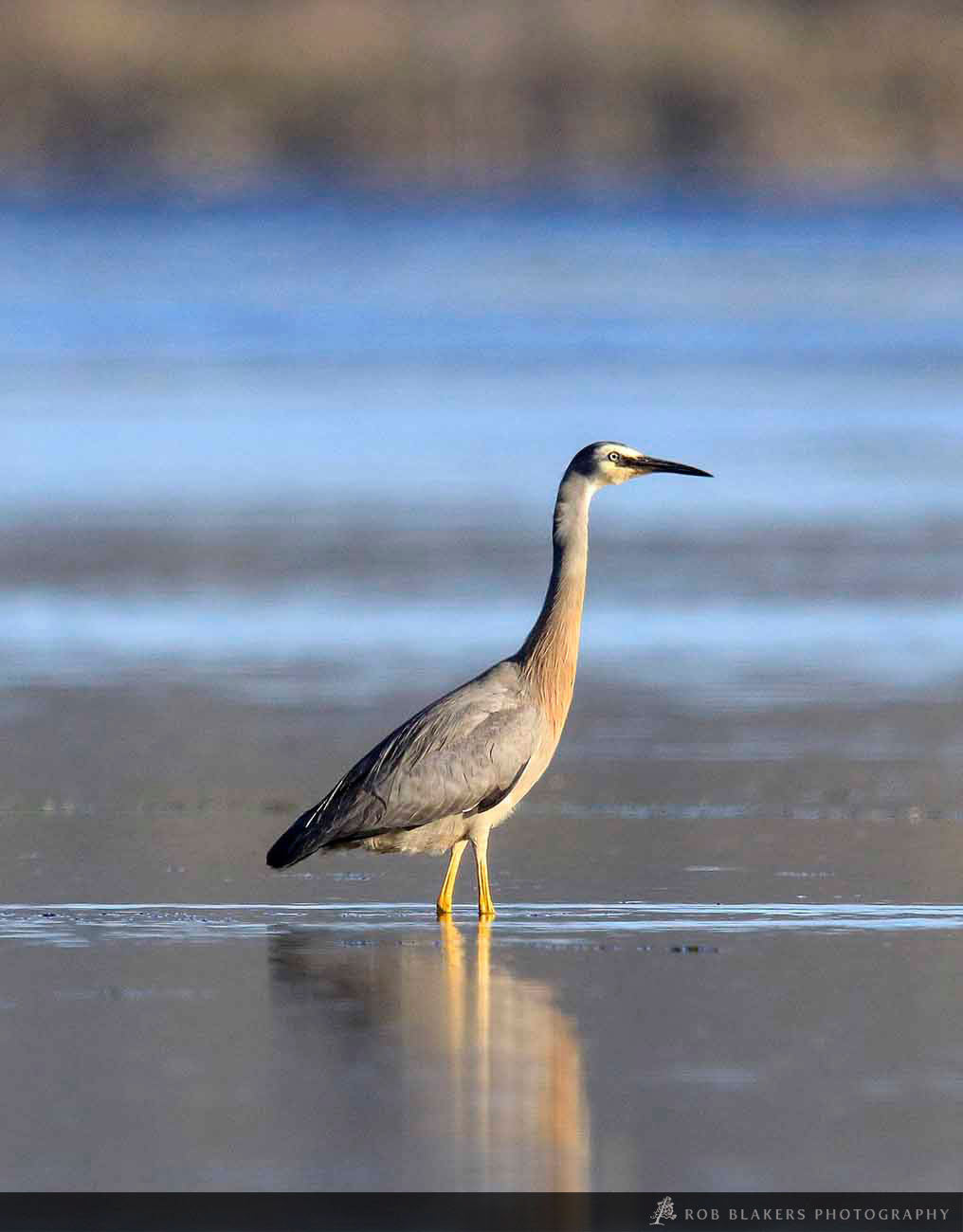 WI49:: White-faced Heron