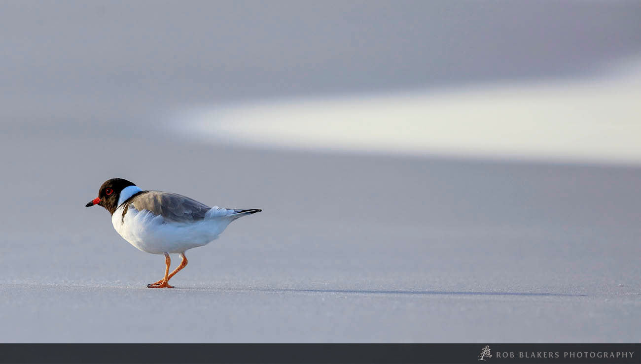 WI53:: Hooded Plover 2