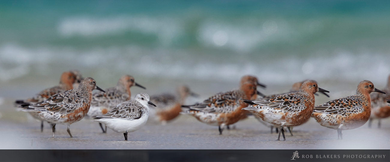 WI69 :: Red Knots and Sanderling, Robbins Island 1