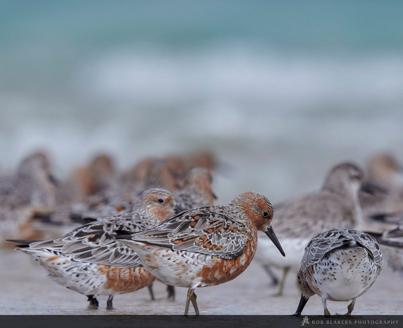 WI70 :: Red Knots and Sanderling, Robbins Island 2
