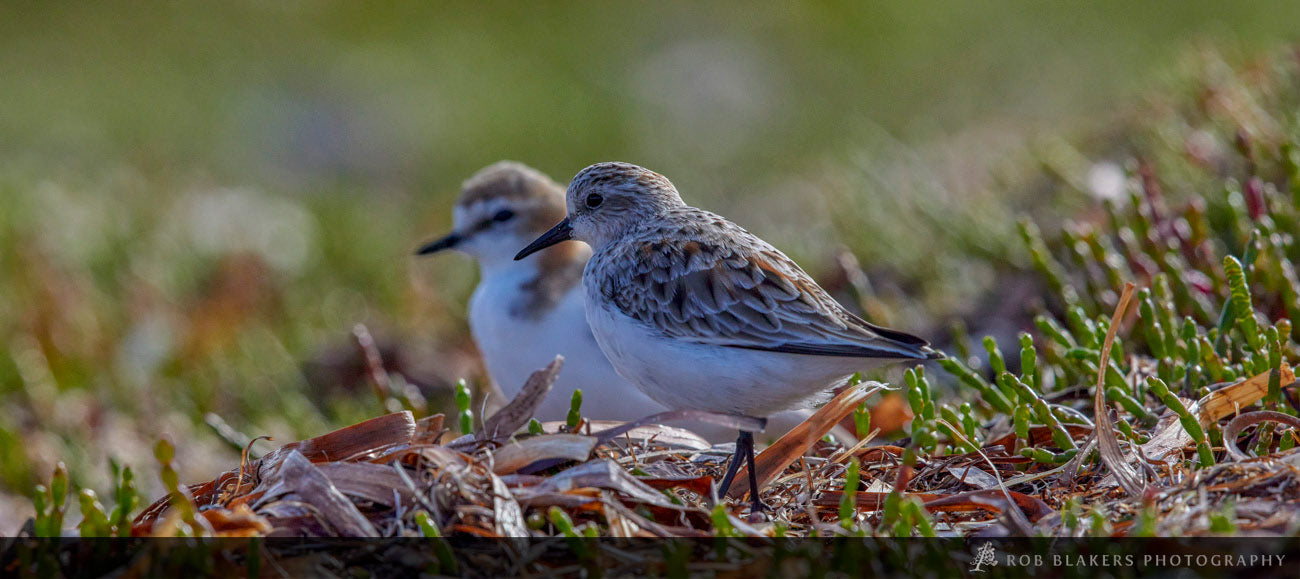 WI72 :: Red-capped Plover and Red-necked Stint, Robbins island