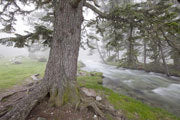 Scots pine in mist, Parc National des Pyrenees