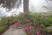 Scots pine and wild rhododendron, Parc National des Pyrenees