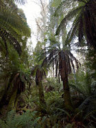 Tree ferns, Butlers Gorge