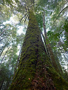 Ancient myrtle, Mt Lindsay, Tarkine