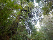 Rainforest, Mt Lindsay, Tarkine