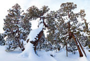 Pencil Pines, Winter