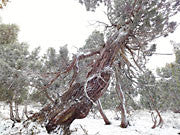 Pencil Pine, winter