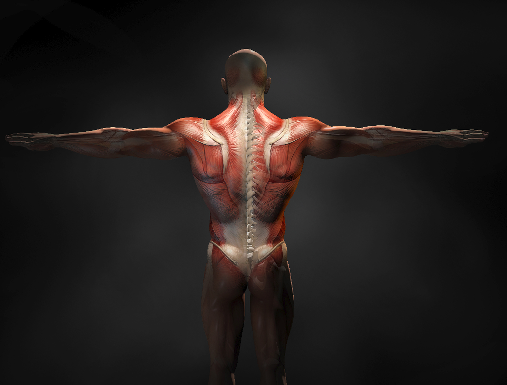 Posterior chain exercises: Back muscles of a man and showing off the spine