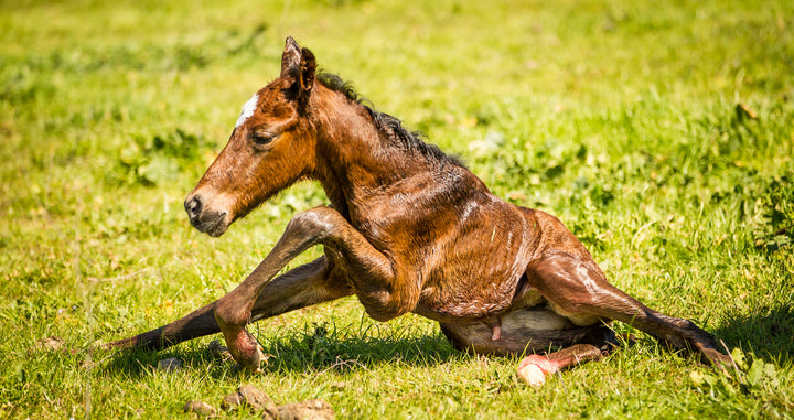 Disturbing, But Preventable: Does Your Horse Carry Warmblood Fragile Foal Syndrome?