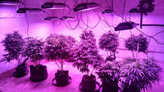 LED Grow Lights with Cannabis Marijuana Plants