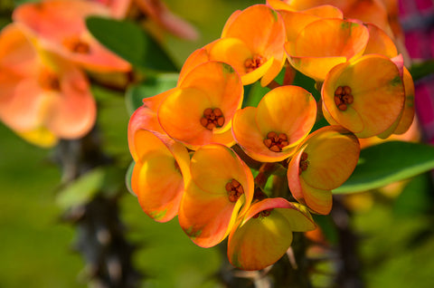 Succulent Crown of Thorns Euphorbia Milii