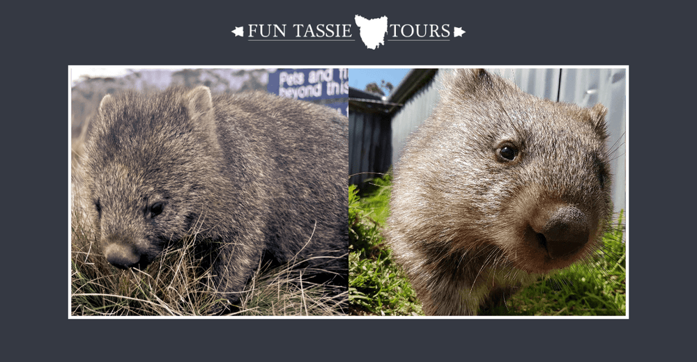 Cradle Mountain Wombats